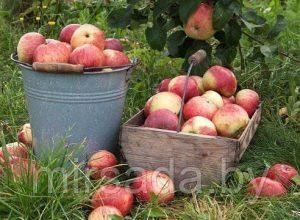 Плодовые и ягодные саженцы МИР САДА