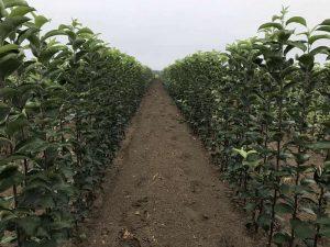 Саженцы плодовых деревьев САД КФХ