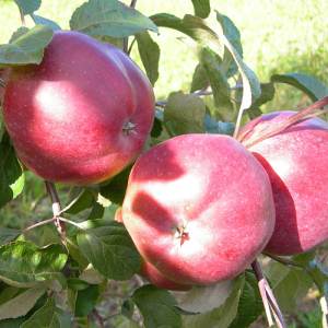 Плодово-ягодные культуры СадТут