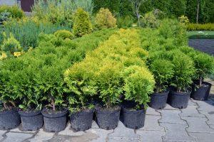 Хвойные растения TUIBRESTPITOMNIK